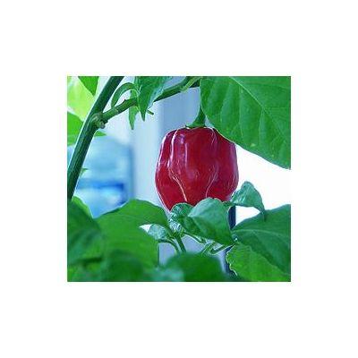 Red Savina