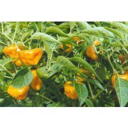 Scotch Bonnet Orange